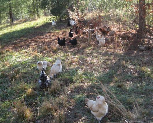 Chickens Roaming around Holden Creek Farms